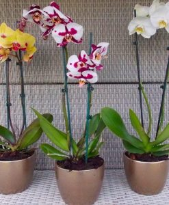 Luxury Phalaenopsis - Pack of THREE Moth Orchids in Assorted Colours