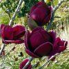 Magnolia Genie - Amazing Purple Black Magnolia - Giant Flowered Black Tulip Tree