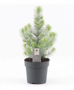 Mini Christmas Tree - Silver Crest Pine