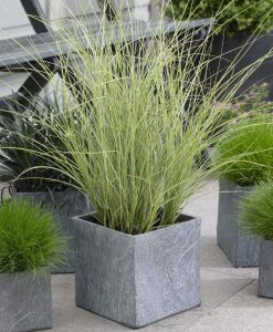 Miscanthus sinensis Morning Light - Japanese Silver Grass - LARGE SPECIMEN