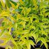 Nandina domestica Brightlight - Brightly Coloured Heavenly Bamboo