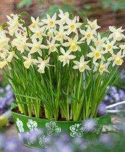 Narcissi - Daffodil Elka - Pack of 25 Bulbs
