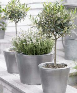 Olea Europa - Olive Tree Standard