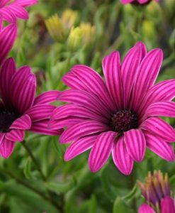 Osteospermum Nairobi Purple - Tresco Purple Cape Daisy