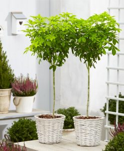PAIR of Golden Mexican Orange Blossom Choisya Trees in White Baskets - Perfect for Patios