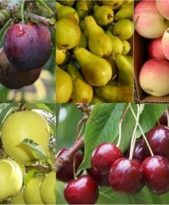 PRE-ORDER: Grow your own Fruit Trees Offer - FIVE Different Trees