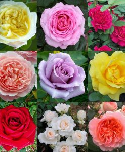 PRE-ORDER: Luxury Garden Roses - Premier Collection - Pack of SIX Different Bush Roses
