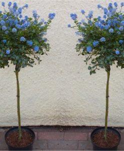 Pair of Evergreen Californian Lilac Trees - Patio Tree Ceanothus VICTORIA