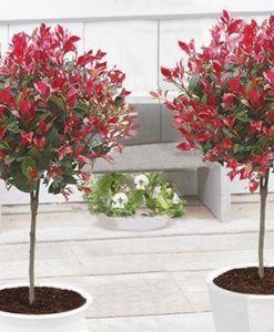 Pair of Evergreen Photinia Chico - Little Red Robin Trees in Festive Baskets