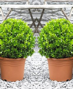 Pair of Premium Quality Topiary Buxus BALLS - Stylish Contemporary PLANTS