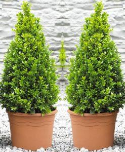 Pair of Premium Quality Topiary Buxus PYRAMIDS - Stylish Contemporary Plants