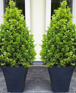 Pair of Premium Quality Topiary Buxus PYRAMIDS with stylish contemporary Flared BLACK Planters