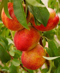 Patio Nectarine Tree - Prunus Persica var. Nucipersica