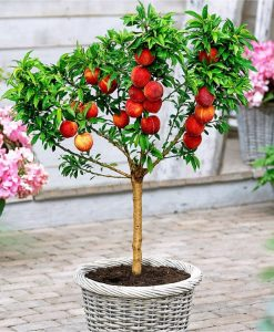 Patio Peach Tree Bonanza - Prunus persica