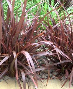 Phormium Bronze Baby - New Zealand Flax