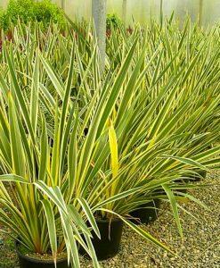 Phormium tenax variegata - New Zealand Flax - LARGE SPECIMEN - 120-150cm tall