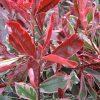 Photinia cassini Pink Marble  - Hardy  Evergreen Variegated Red Robin Shrub