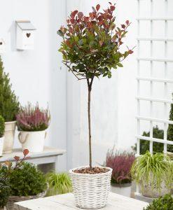 Photinia fraseri ''Red Robin'' - Compact 120-140cm STANDARD Tree -