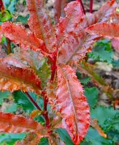 Photinia serratifolia 'Crunchy' - Evergreen Crinkley Red Robin Photinia Shrub