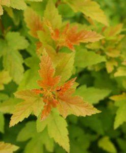 Physocarpus Tiny Wine Gold