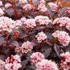 Physocarpus opulifolius Little Joker - Ninebark