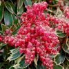 Pieris japonica Polar Passion - Passion Frost - Evergreen Lily of the Valley Shrub
