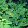 Polystichum polyblepharum - Japanese Tassel Fern