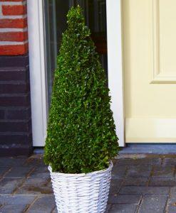 Premium Quality Topiary Buxus PYRAMIDS - Large 90-110cms