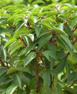 Prunus lusitanica - Evergreen Portugese Laurel