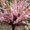 Prunus triloba - Double Flowering Cherry-Almond - LARGE 100-120cm SHRUB