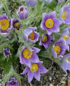 Pulsatilla vulgaris - Blue Pasque Flower