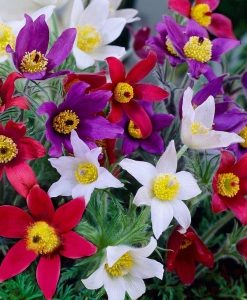 Pulsatilla vulgaris Collection - THREE assorted Pasque Flower Plants in Bud and Bloom