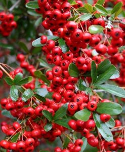 Pyracantha - Mixed Pack of 10 for Hedging