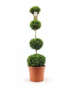 Quatro Ball Buxus Topiary - Large Specimen Plant