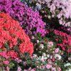 Rainbow Azalea japonica Collection - Evergreen Japanese Azaleas - Pack of THREE Plants