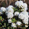Rhododendron (Ledum) groenlandicum Helma