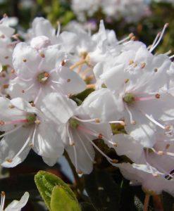 Rhododendron impeditum album - Dwarf White Rhododendron