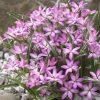 Rhodohypoxis Twinkle Stars - PINK - Star Grass
