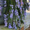 Rosmarinus officinalis Prostratus - Large Trailing Rosemary
