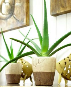 SPECIAL DEAL - Aloe Vera - Succulent Plant in a Classic White Display Pot