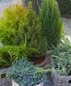 SPECIAL DEAL - Dwarf Slow Growing Conifers - Collection of 5 Different Contrasting Plants in 1 litre pots