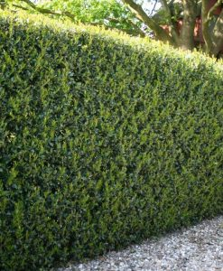 SPECIAL DEAL - Ilex crenata stokes Green Hedge - Hardy Box-leaved Hedging - Pack of 12 Plants