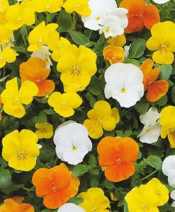 SPECIAL DEAL - Pair of Viola Planters - 'Citrus Mix' - In Bud & Bloom