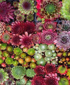 SPECIAL DEAL - Sempervivum Houseleeks - Pack of TEN Evergreen Hardy Succulent Plants