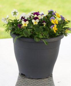 SPECIAL DEAL - Winter Wonder Viola Planter - In Bud & Bloom