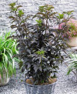 Sambucus Black Tower - Black Leaf Towering Elder