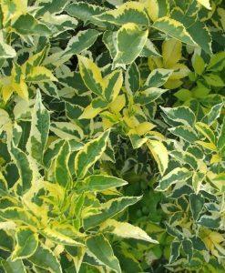 Sambucus nigra Madonna - Golden variegated Elder