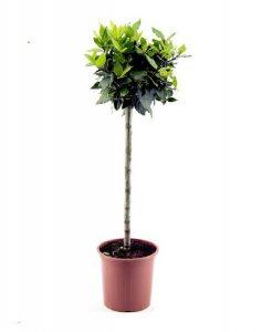Standard Bay Tree - Laurus nobilis - 60-80cms tall