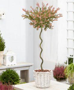 Standard Topiary Tree - Corksrew Stem Salix integra Flamingo - Corkscrew Standard Tree