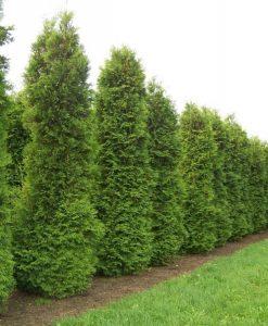 Thuja occidentalis Brabant - 80-100cms Specimen or Hedging Conifer